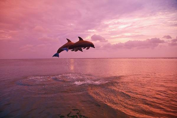 Island In The Sky Photograph - Bottlenose Dolphins Tursiops Truncatus by Design Pics / Stuart Westmorland