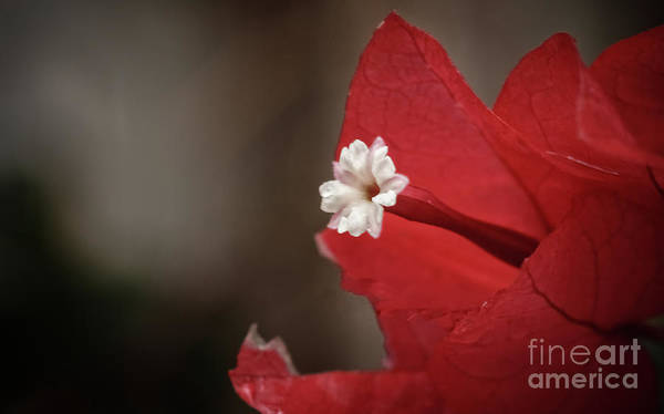 Wall Art - Photograph - Bougainvillea Bloom by Robert Bales