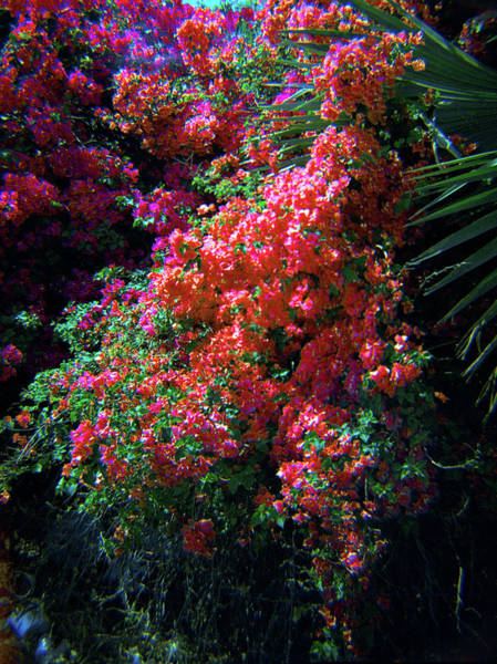 Photograph - Bougainvillea Wall-4 by Rudy Umans