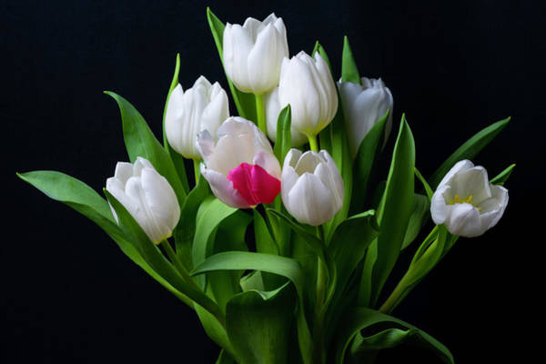 Sketch Holiday Photograph - Bouquet Of White Tulips by Vira Sivachuk