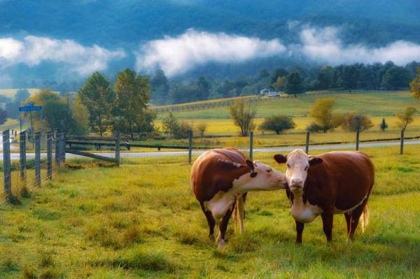 Photograph - Bovine Love by Shannon Kelly
