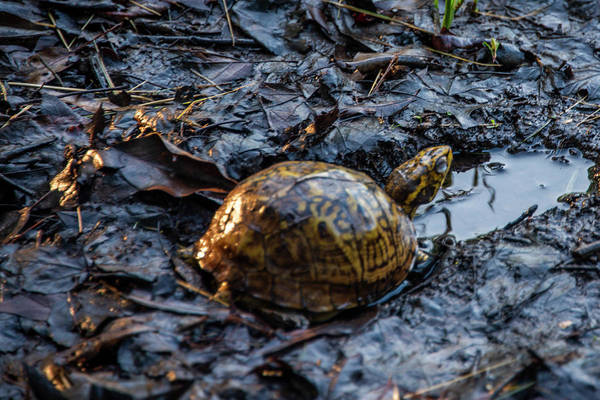 Wall Art - Photograph - Box Turtle In The Wetlands by Bill Cannon