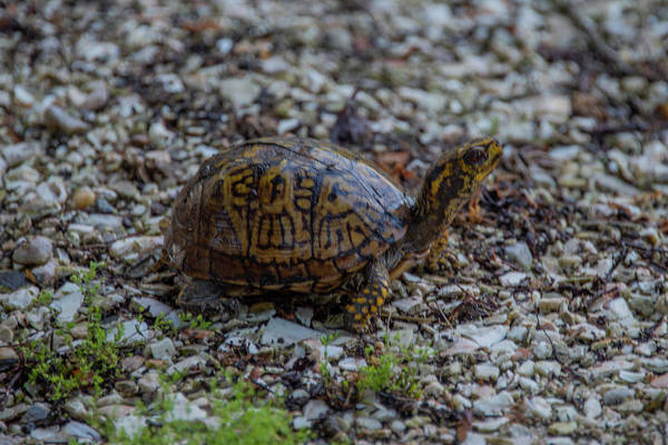 Photograph - Box Turtle On The Move by Bill Cannon