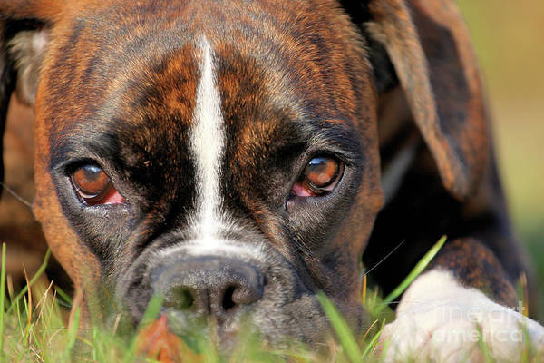 Dog Watch Photograph - Boxer Dog Face by Jana Behr