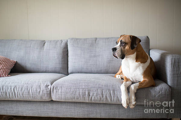 Wall Art - Photograph - Boxer Mix Dog Laying On Gray Sofa At by Anna Hoychuk