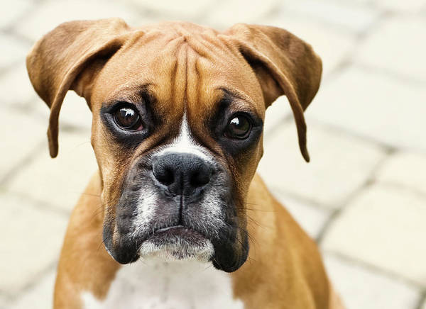 Puppy Photograph - Boxer Puppy by Jody Trappe Photography