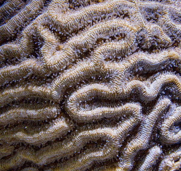 Photograph - Brain Coral Tentacles by Jean Noren