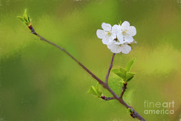 Wall Art - Photograph - Branch And Blossoms From A Young Sour Cherry Tree 4493fsct2ti by Doug Berry
