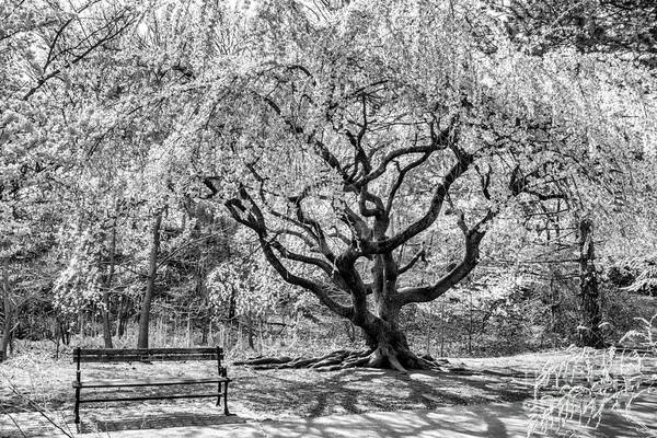 Photograph - Branch Brook Park by Anthony Sacco
