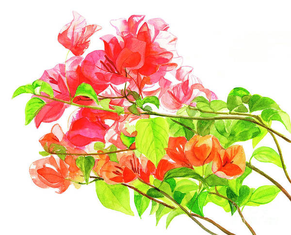 Wall Art - Painting - Branch Of Bougainvillea On White by Sharon Freeman