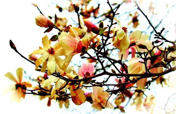 Photograph - Branch Of Magnolia Flowers by Cynthia Guinn