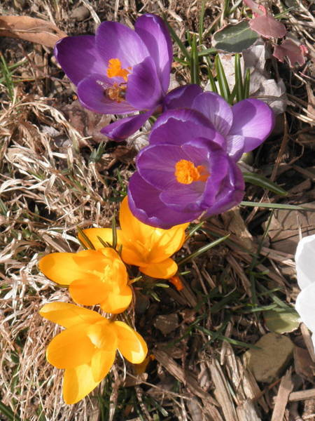 Photograph - Brave Little Crocus by Barbara Keith