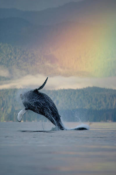 Beauty In Nature Photograph - Breaching Humpback Whale And Rainbow by Paul Souders