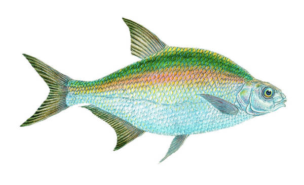 Drawing - Bream Fish by David Letts