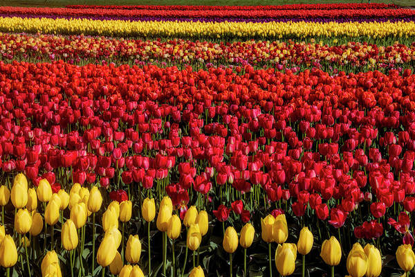 Wall Art - Photograph - Breathtaking Beautiful Tulip Fields by Garry Gay