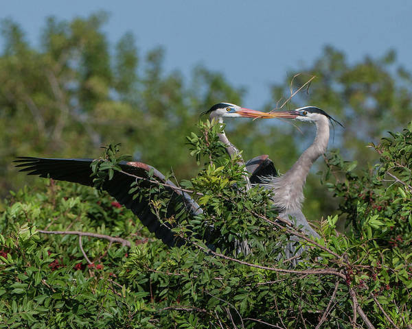 Photograph - Breeding Herons by Donald Brown