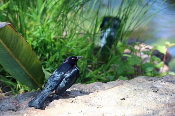 Wall Art - Photograph - Brewer's Blackbird by Diann Fisher