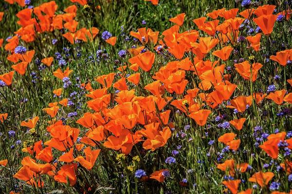 Photograph - Bright And Beautiful Poppies Of The 2019 Superbloom by Lynn Bauer