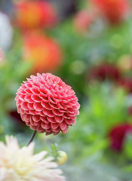 Wall Art - Photograph - Bright And Cheery Pompom Dahlia by Anita Nicholson
