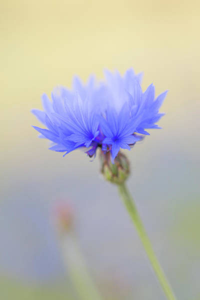 Wall Art - Photograph - Bright Blue Cornflower by Anita Nicholson