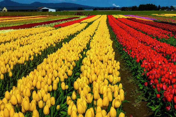 Wall Art - Photograph - Bright Colorful Tulip Field by Garry Gay