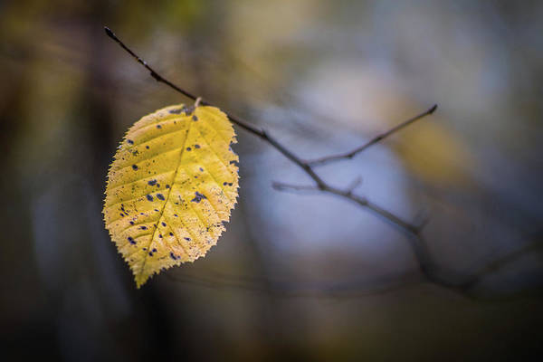 Photograph - Bright Fall Leaf 1 by Michael Arend