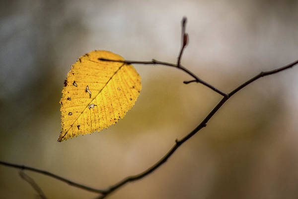 Photograph - Bright Fall Leaf 10 by Michael Arend