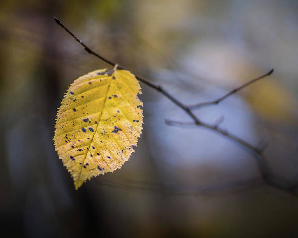 Photograph - Bright Fall Leaf 3 by Michael Arend