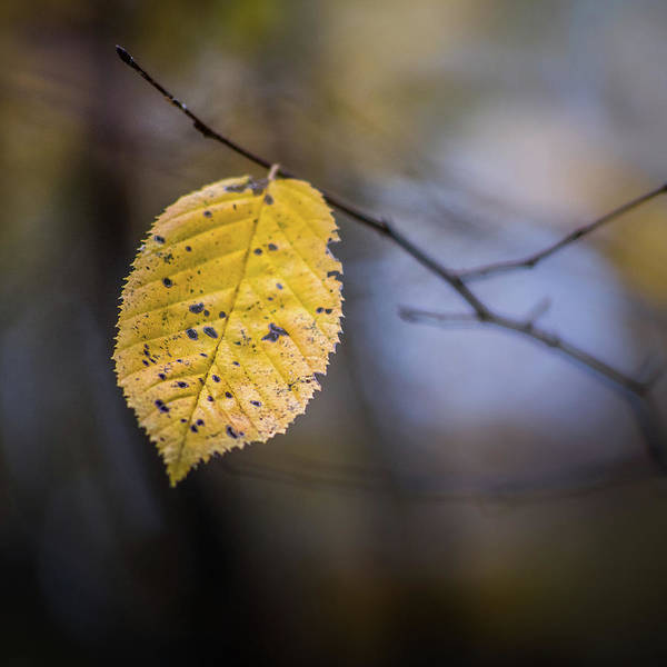 Photograph - Bright Fall Leaf 5 by Michael Arend
