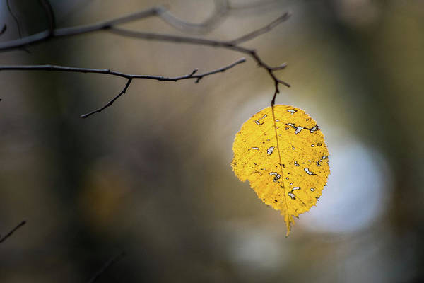 Photograph - Bright Fall Leaf 6 by Michael Arend