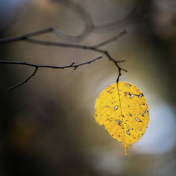 Photograph - Bright Fall Leaf 7 by Michael Arend