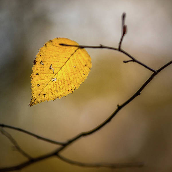 Photograph - Bright Fall Leaf 8 by Michael Arend
