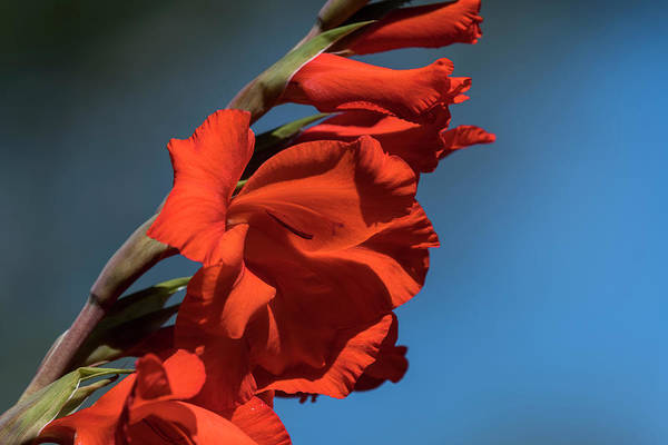 Photograph - Bright Gladiolus by Robert Potts