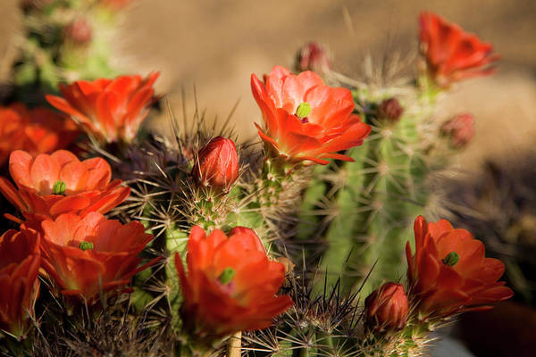 Chihuahua Photograph - Bright Orange Cactus Flowers by Vallariee
