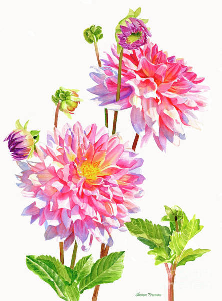 Realistic Flower Wall Art - Painting - Bright Pink Dahlias With Buds by Sharon Freeman