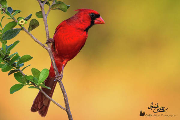Photograph - Bright Red Cardinal by David  Cutts