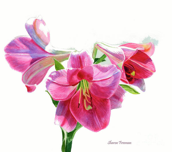 White Lily Painting - Bright Rose Colored Lilies by Sharon Freeman