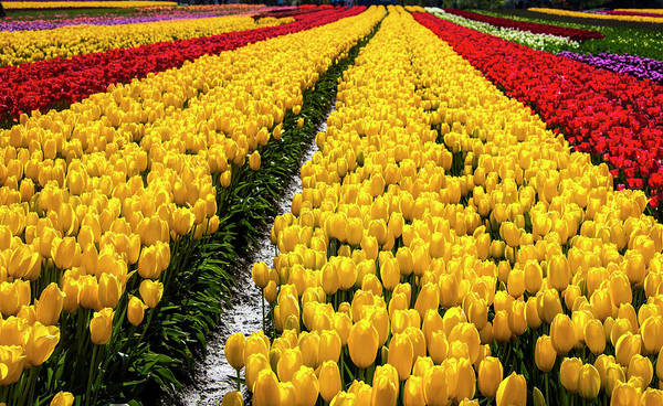 Wall Art - Photograph - Bright Rows Of Spring Tulips by Garry Gay
