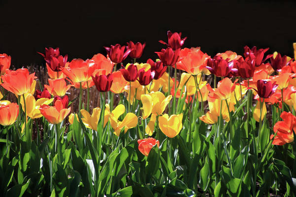 Photograph - Bright Tulips by Angela Murdock