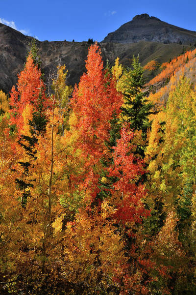 Photograph -  Brightly Colored Aspens At Red Mountain Pass by Ray Mathis