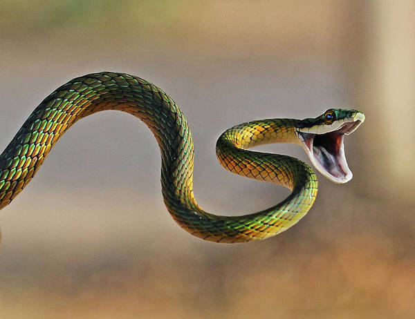 Mouth Wall Art - Photograph - Brightly Coloured Parrot Snake by Suebg1 Photography