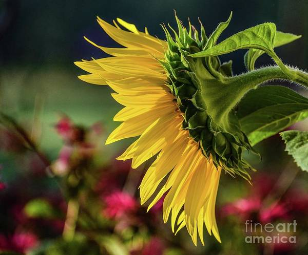 Wall Art - Photograph - Brilliance Of A Sunflower by Cindy Treger
