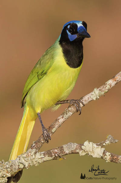 Photograph - Brilliant Green Jay by David Cutts