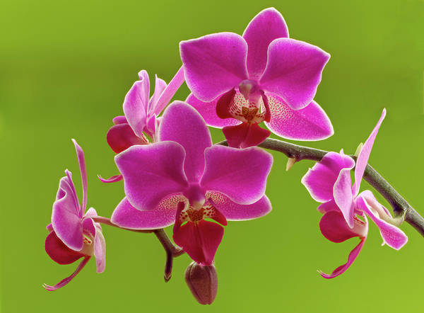 Wall Art - Photograph - Brilliant Pink Orchid by Jean Noren