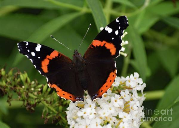 Wall Art - Photograph - Brilliant Red Admiral by Cindy Treger