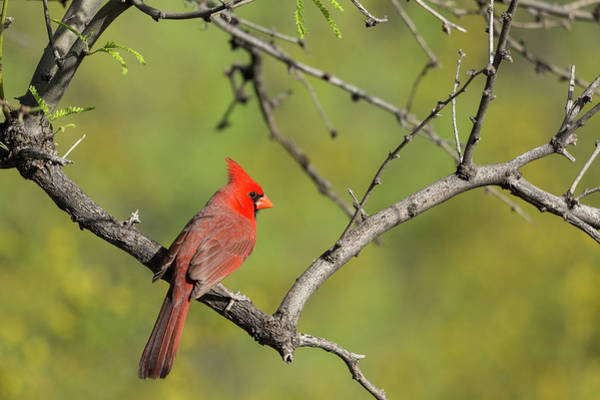 Wall Art - Photograph - Brilliant Red Northern Cardinal Perches by Brenda Tharp