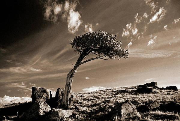 Pine Tree Photograph - Bristle Cone Pine Tree, Mt Evans, Co by John Glembin