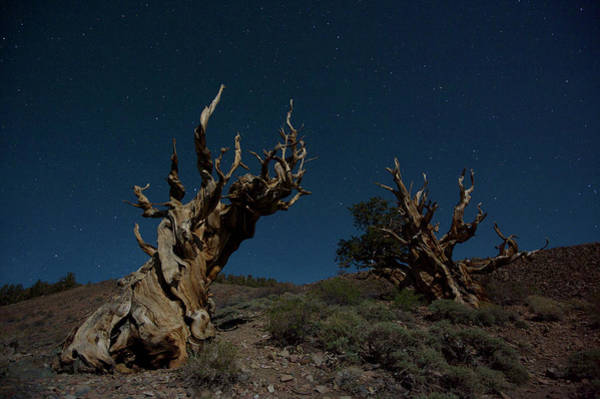 Pine Tree Photograph - Bristlecone Pine by Enrique R. Aguirre Aves