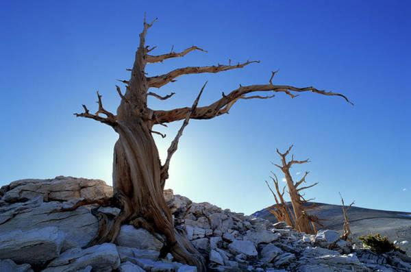 Pine Tree Photograph - Bristlecone Pines Pinus Aristata, White by Art Wolfe