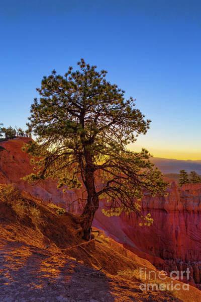 Wall Art - Photograph - Bristlecone Tree Bryce Canyon National Park Sunrise by Edward Fielding